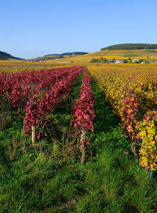Vignes en automne - Bourgogne
